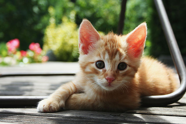 Cats can transfer a variety of infections, including MRSA, toxoplasmosis, ringworm, and hookworm.