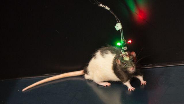 Ainda é só um rato em uma gaiola: Marco, o rato de laboratório, persegue seus desejos de chocolate - pela ciência!