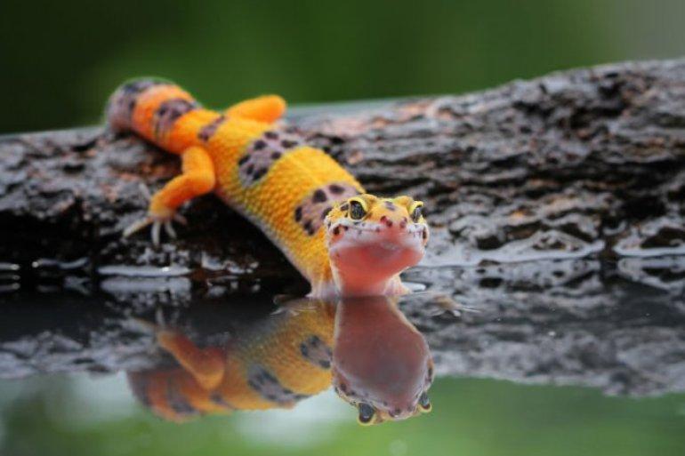 Die neue Supermacht von Geckos läuft auf Wasser. Jetzt wissen wir, wie sie das machen
