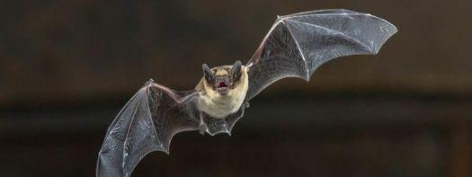 Image of a bat in flight.