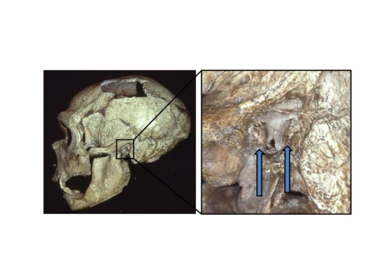 Photograph and closeup of prehuman skull.