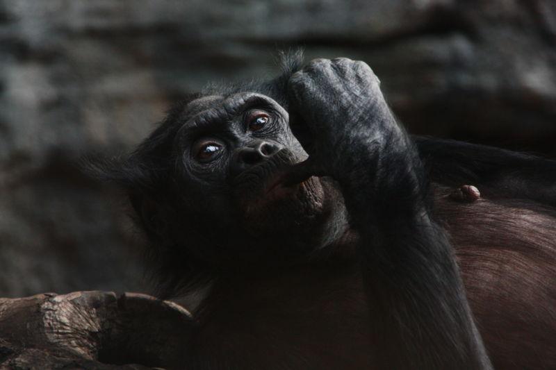Image of a chimpanzee.