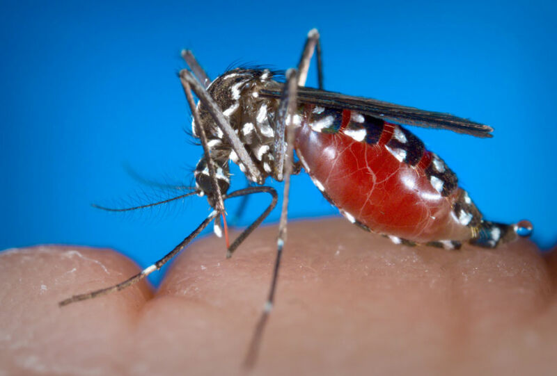 Image of a blood-filled mosquito perched on someone's hand.
