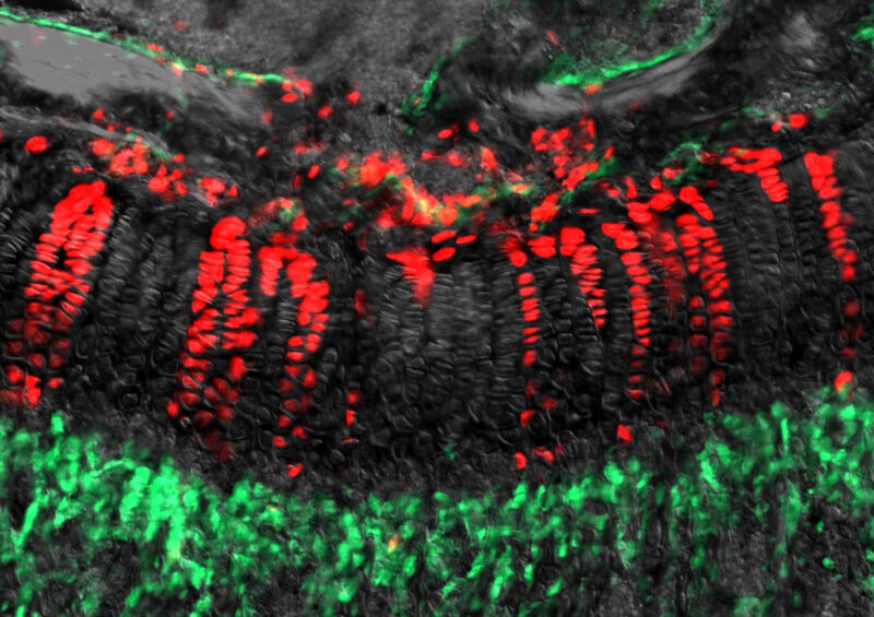 Microscope image of fluorescent cells.
