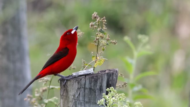 brazilian-tanager-800x450 How one naughty bird cheats with fancy feather structures | Ars Technical