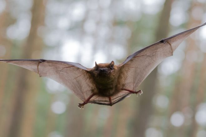 GettyImages-1146205694-800x532 Researchers raise bats in helium-rich air to check how they sense sound | Ars Technical