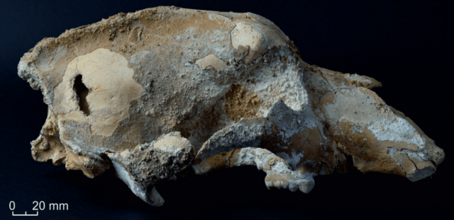 cave-bear-skull-640x311 Someone stabbed a cave bear in the head with a spear 35,000 years ago | Ars Technical