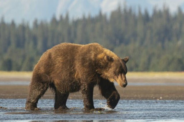 A bear lumbers along a shore with pine trees in the background.