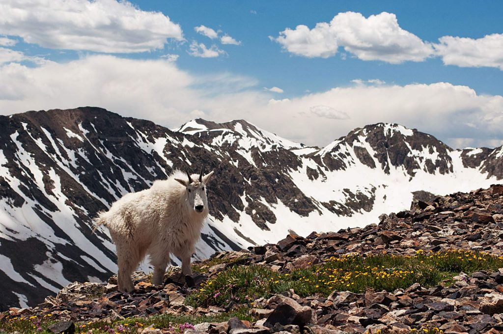 Mountain Goat on Mount Quandary. This image was taken at about 13,500 feet.