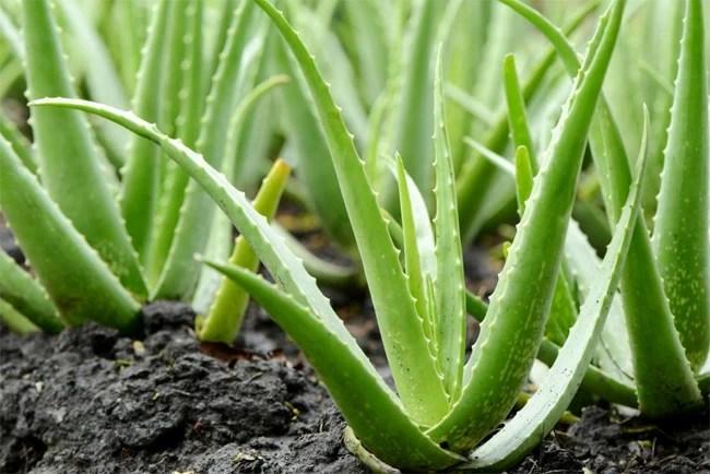 Discover Aloe Vera - the perfect natural cosmetic