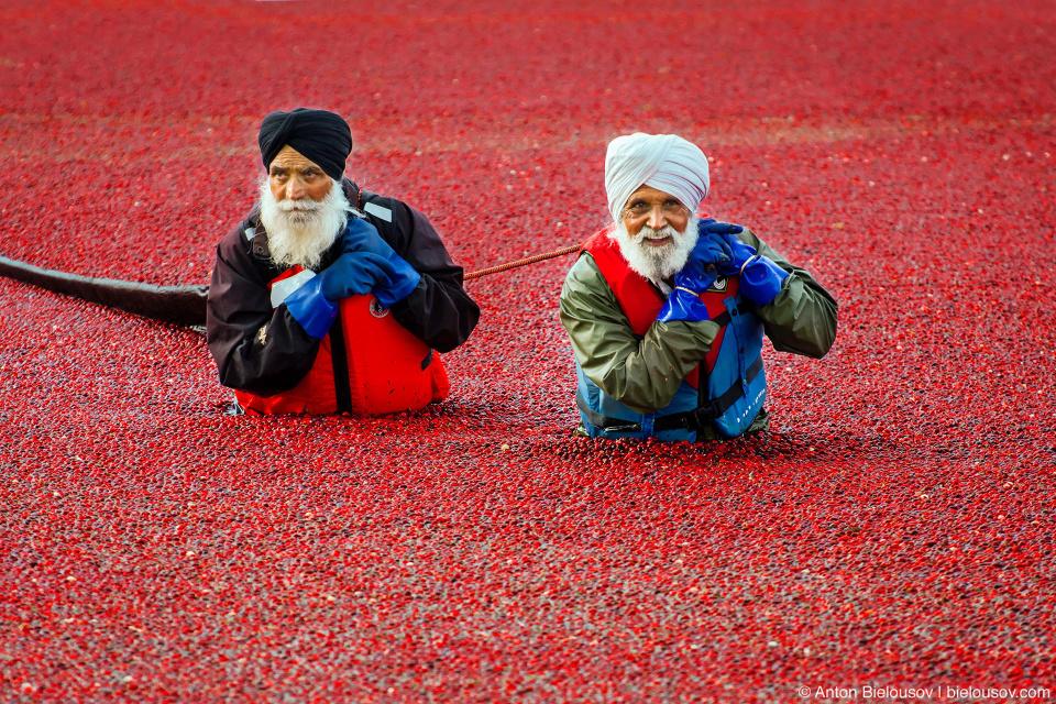 Сбор урожая клюквы в Ричмонде (Richmond, BC)