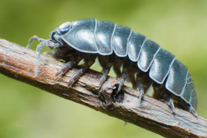 cochinillas insectos bola