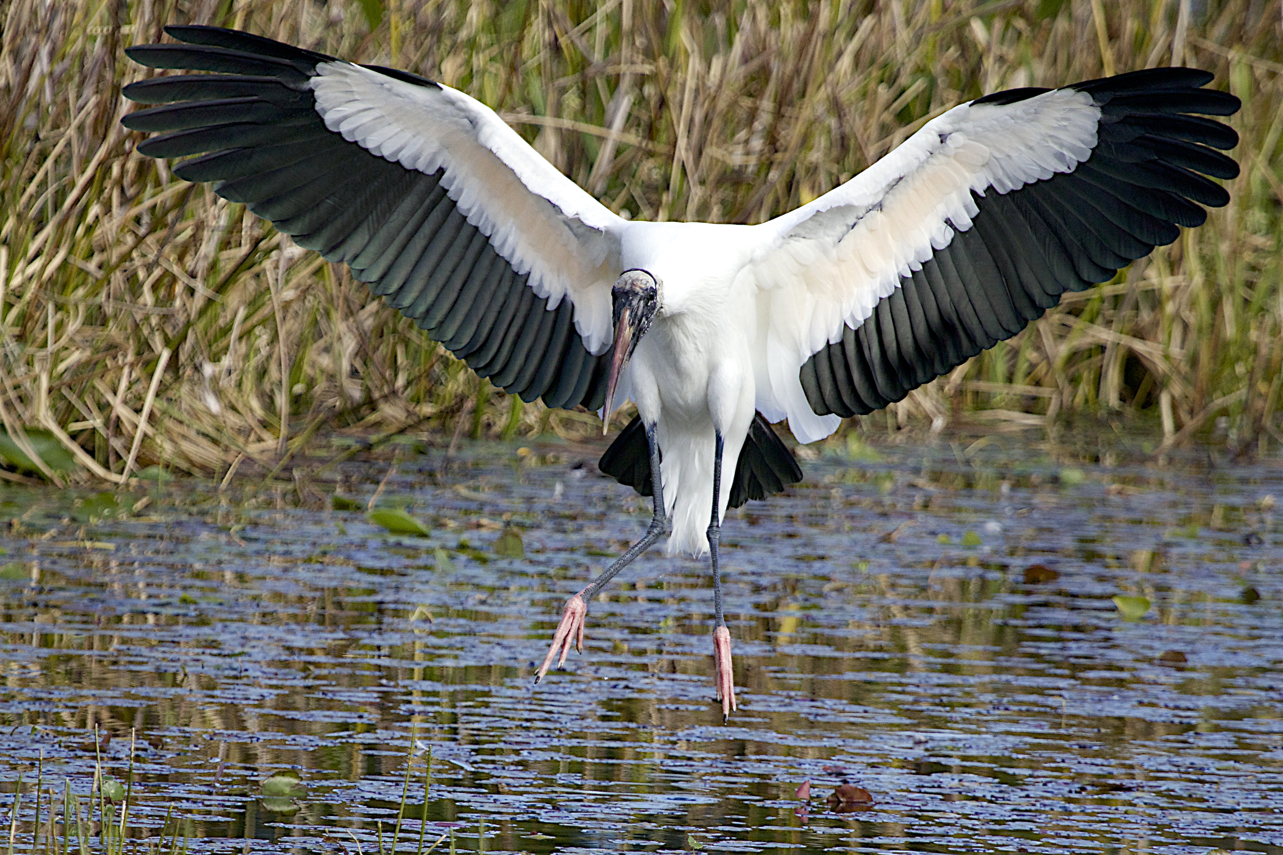 Recovering Wood Stork Down Listed From Endangered To