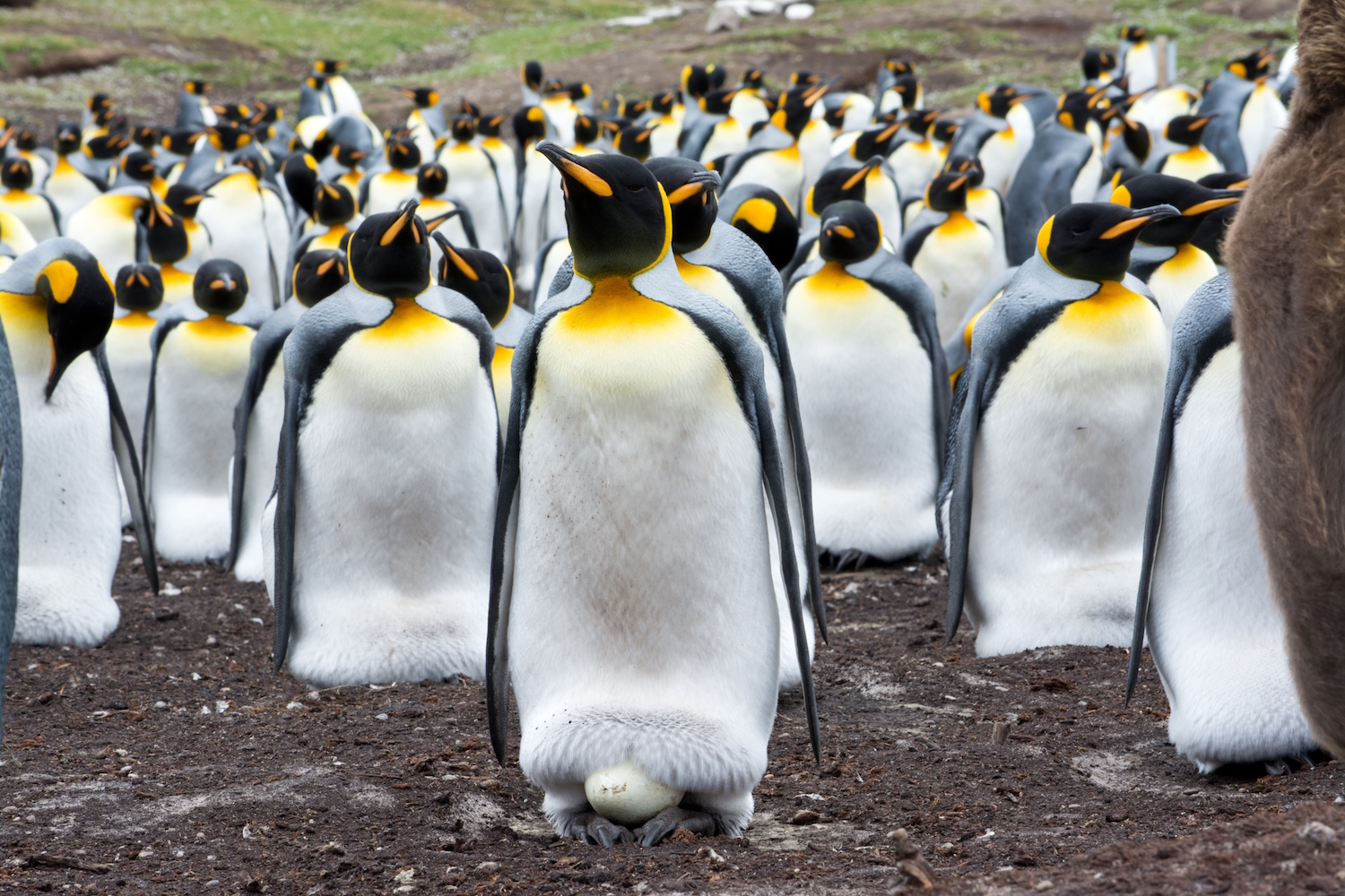 World S Largest King Penguin Colony Has Shrunk Nearly 90