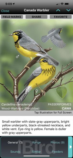 Canada Warbler General 1080 2339