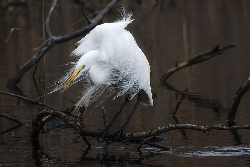A Great Egret at Big John's Pond.