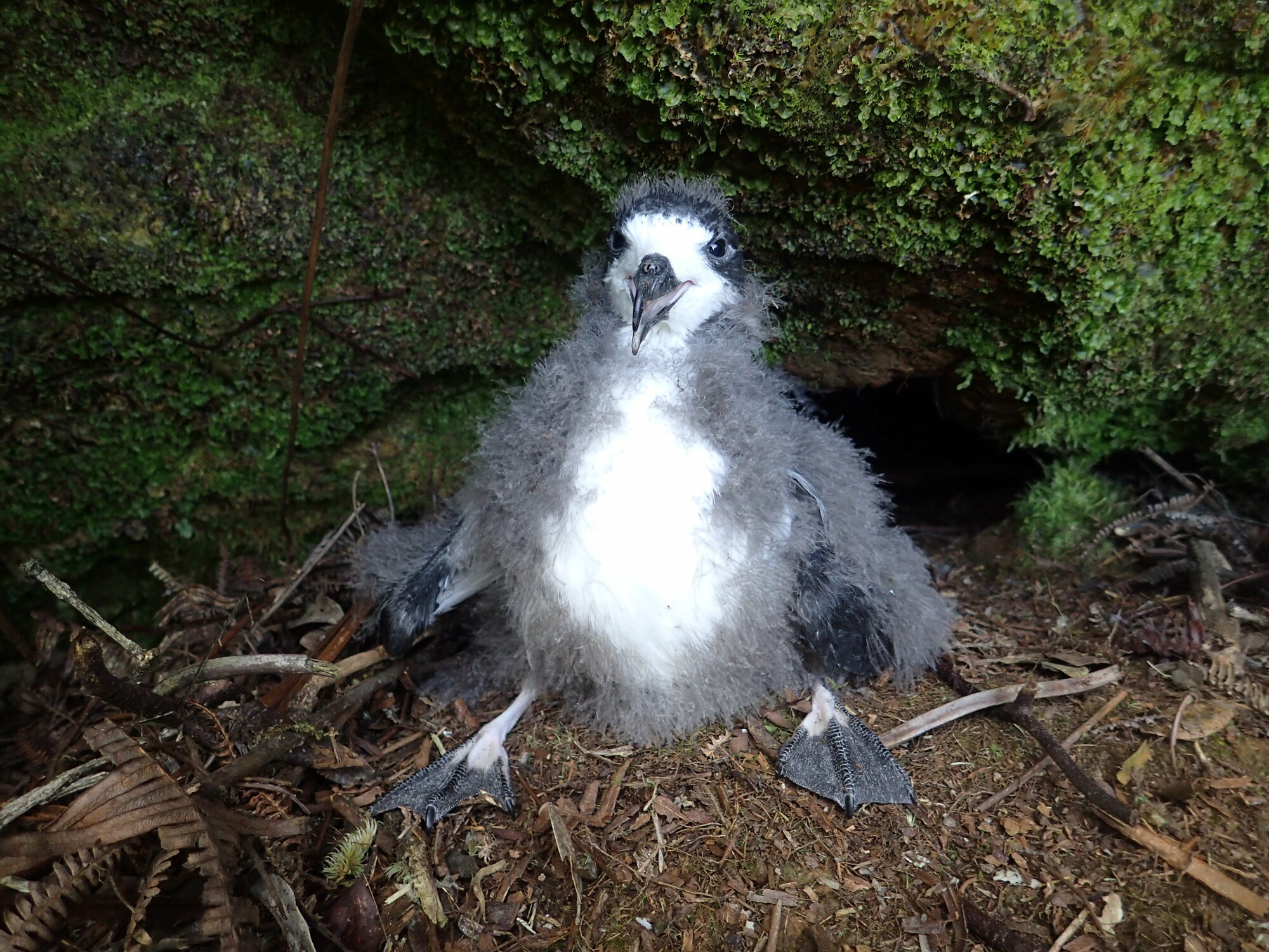 RSHawaiian petrel chick courtesy USFWS Andre Raine Kauai Endangered Seabird Recovery Project CC BY NC lpr