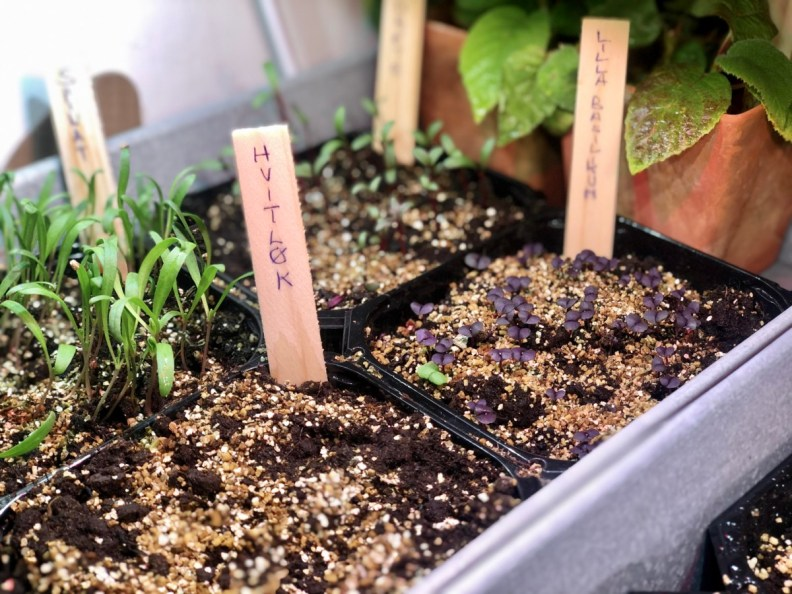 Vermikulitt vermiculite over lysspirende frø