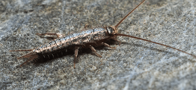 Why Do I Have Silverfish In My Home Silverfish Prevention Tips