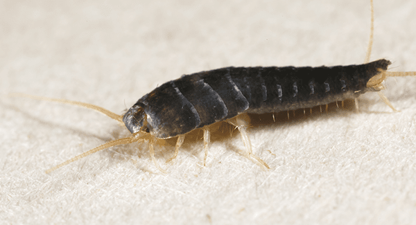 Silverfish Can Be A Sign Of Larger Problems