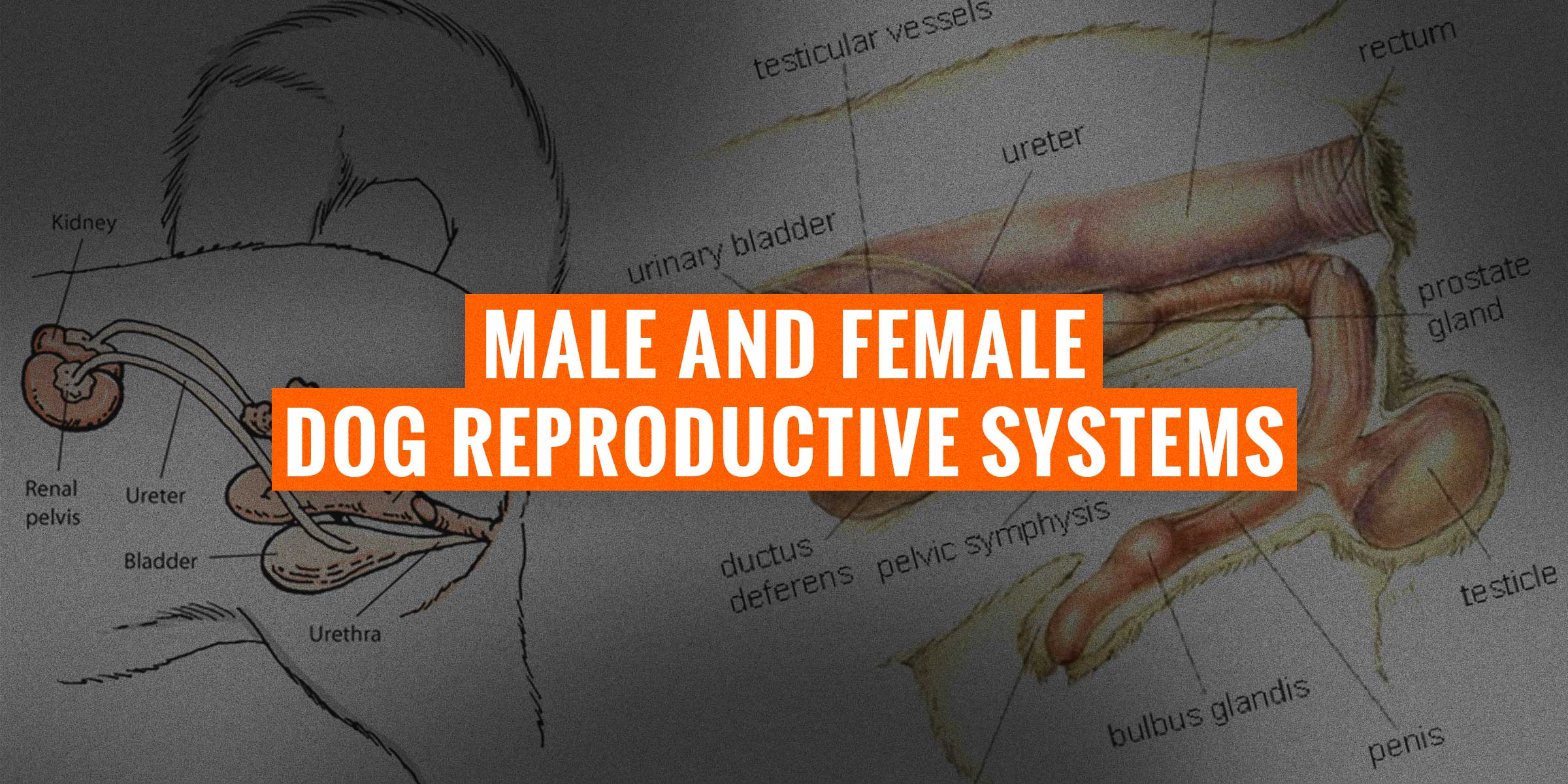Male Amp Female Dog Reproductive Systems