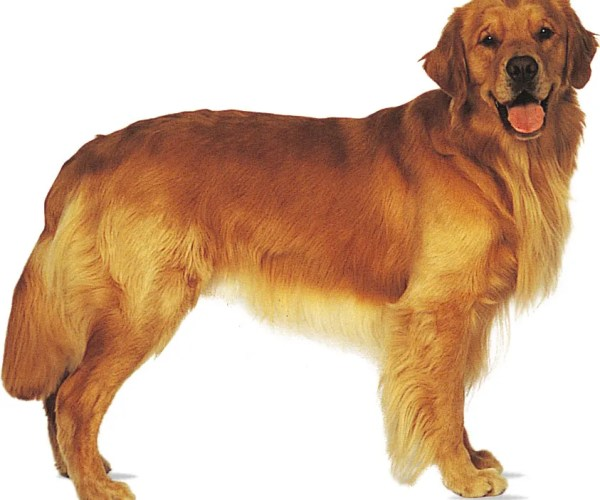 Golden retriever | breed of dog | Britannica