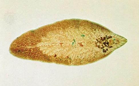 Fluke   flatworm   Britannica