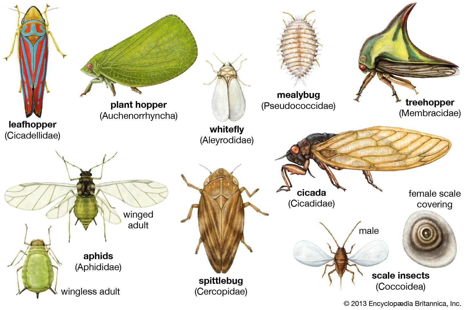 Diagram Cycle Life Aphid