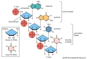 Nucleic acid | chemical pound | Britannica