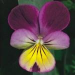 Zygomorphic Flower Plant Anatomy Britannica
