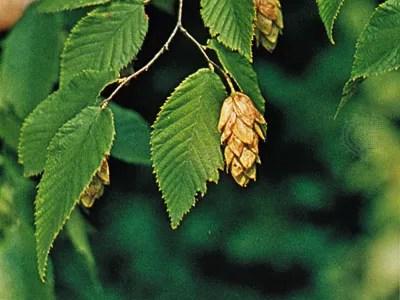 Hop Hornbeam Plant Genus Britannica Com