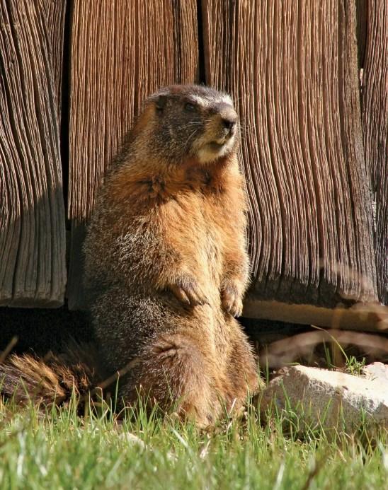 Marmot | rodent | Britannica