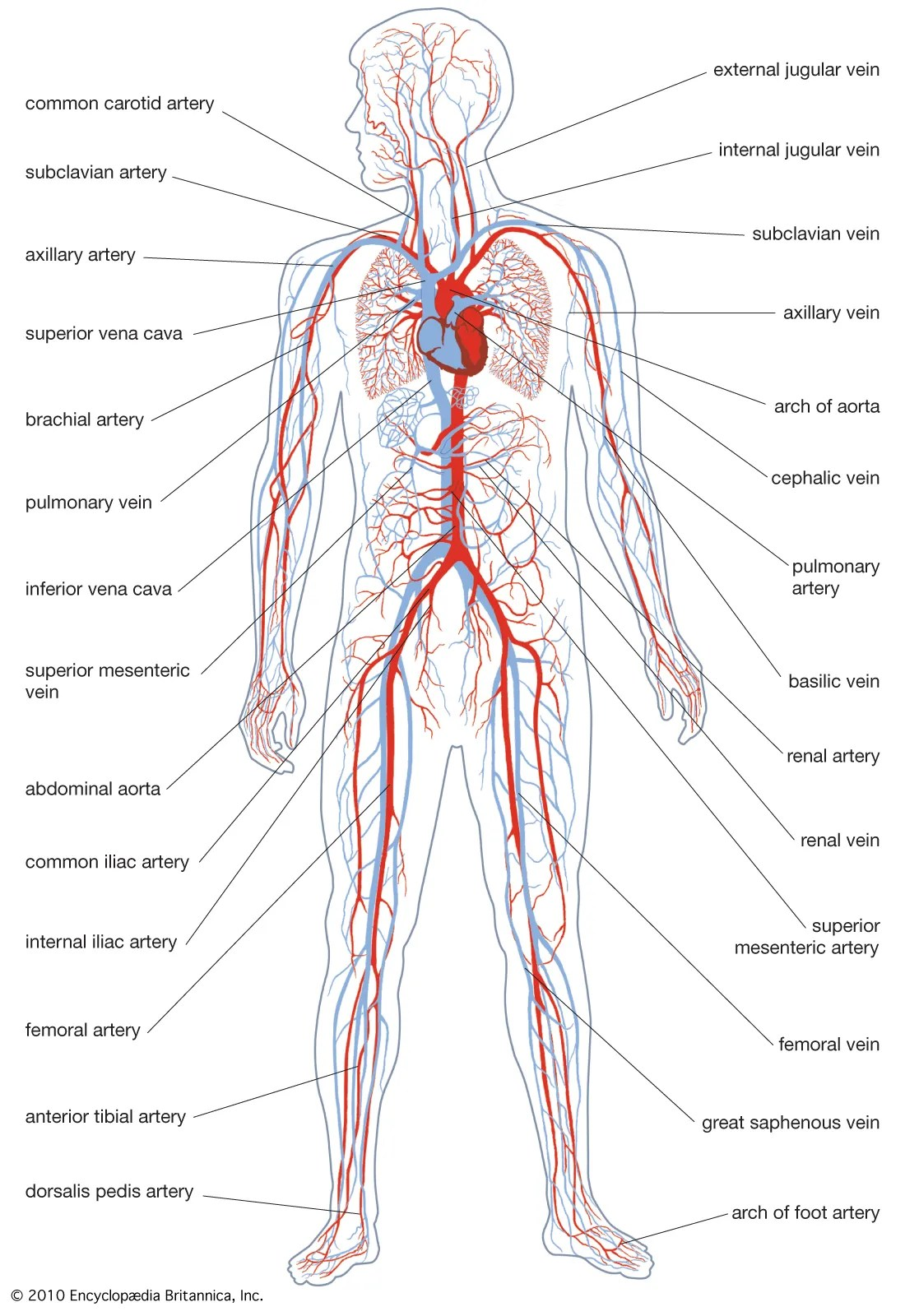 White Black Human Heart Unlabeled Diagram And
