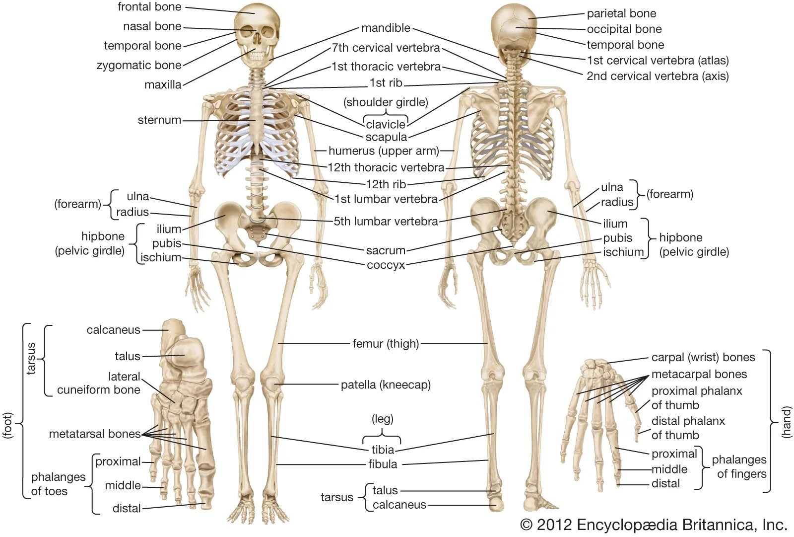 Classification Of Bones Worksheet