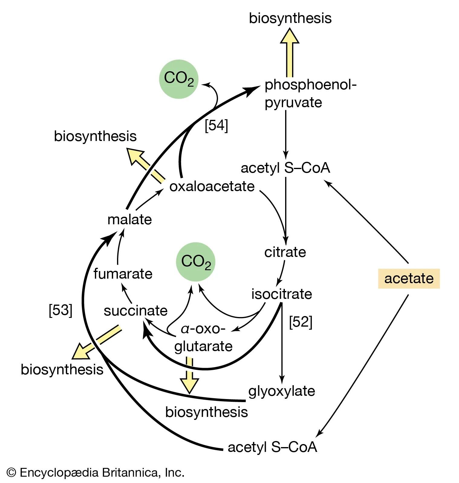 Diagram Krebs Cycle Steps