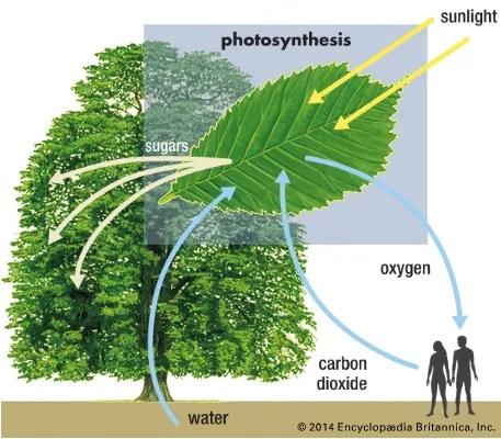 Photosynthesis Kids Britannica Kids Homework Help