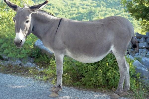 donkey | Definition, Characteristics, & Facts | Britannica