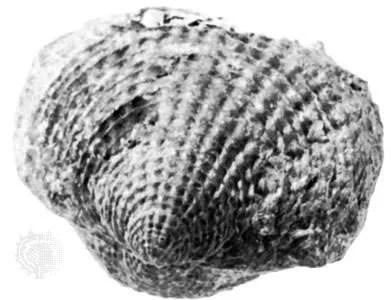 Atrypa spinosa, de edad del Devónico Medio, del condado de Erie, NY