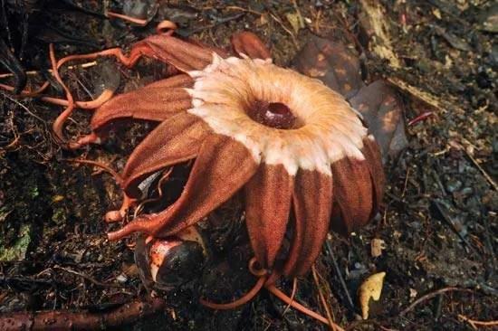 Rafflesiaceae   Description, Taxonomy, & Facts ...