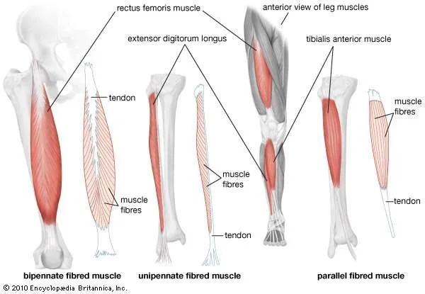 Quadriceps femoris muscle   anatomy   Britannica.com