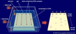 Gel electrophoresis | Britannica