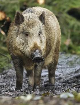 Wild boar   Britannica
