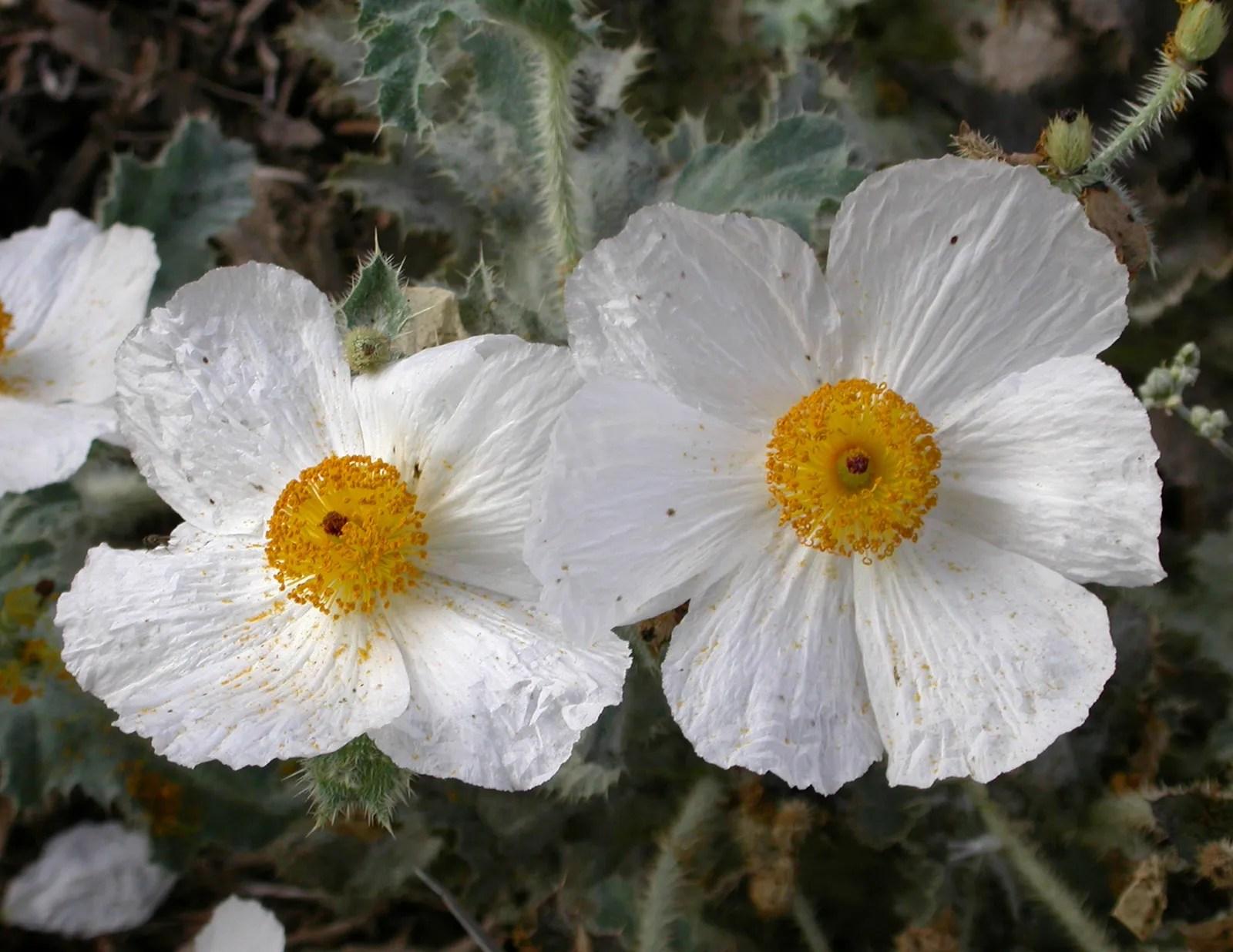 Tree Poppy Plant Description Britannica