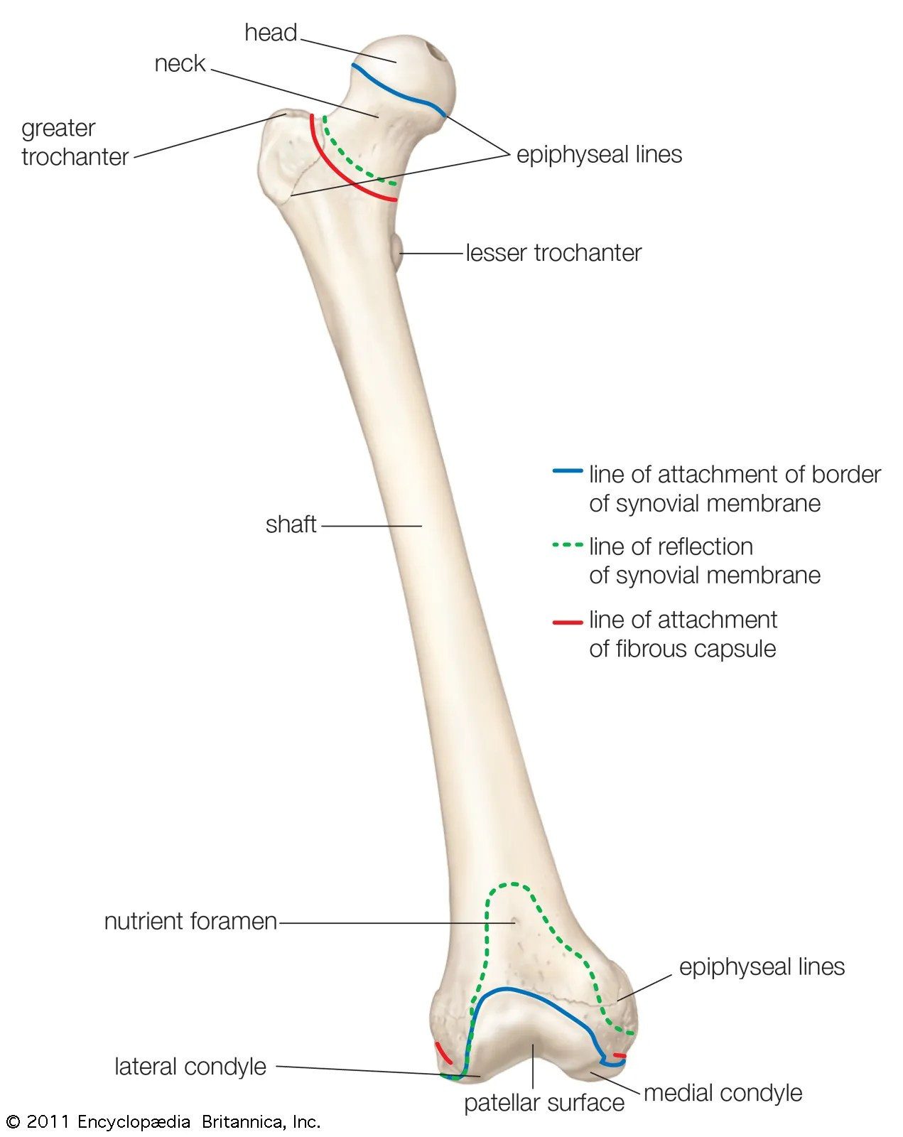 Diagram Of Bones