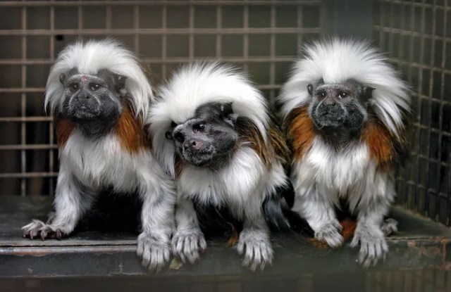 Tamarin monkey pet