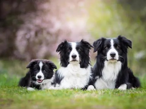 Border Collies will be a smart companion for a high-energy household.