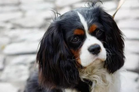 Cavalier King Charles Spaniels tend to have great personalities.