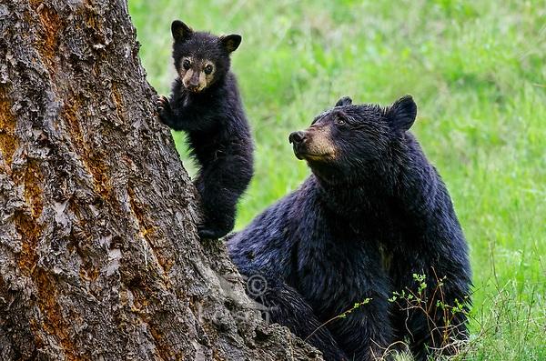 Image result for black bear cub