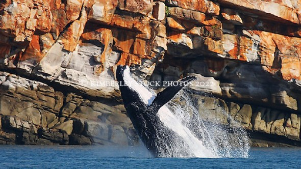 A female humpback whale breaches off Wilson Point on the Kimberley coast.