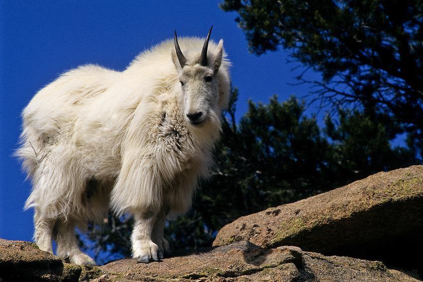 https://i2.wp.com/cdn.c.photoshelter.com/img-get/I0000IrHGEAdaE_0/s/850/850/Mountain-Goat-Oreamnos-americanus-B3GT-1588.jpg